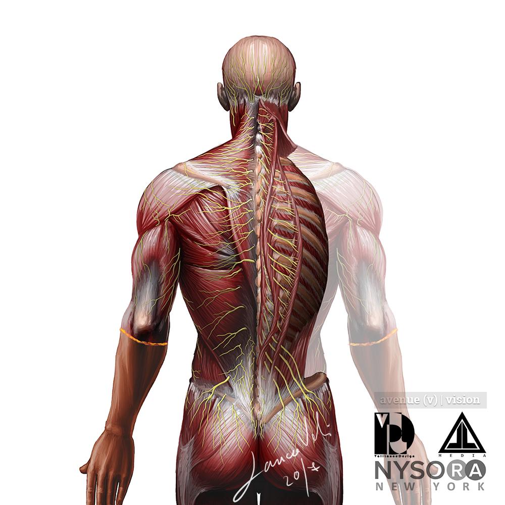 Back Nerve Anatomy Medical Illustration Avenue V