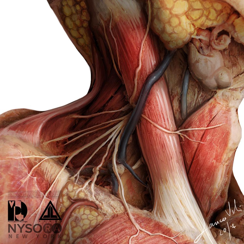 Neck Nerve Anatomy Medical Illustration – avenue-v
